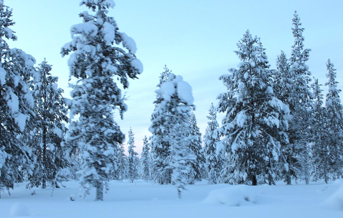 La grande foresta lappone